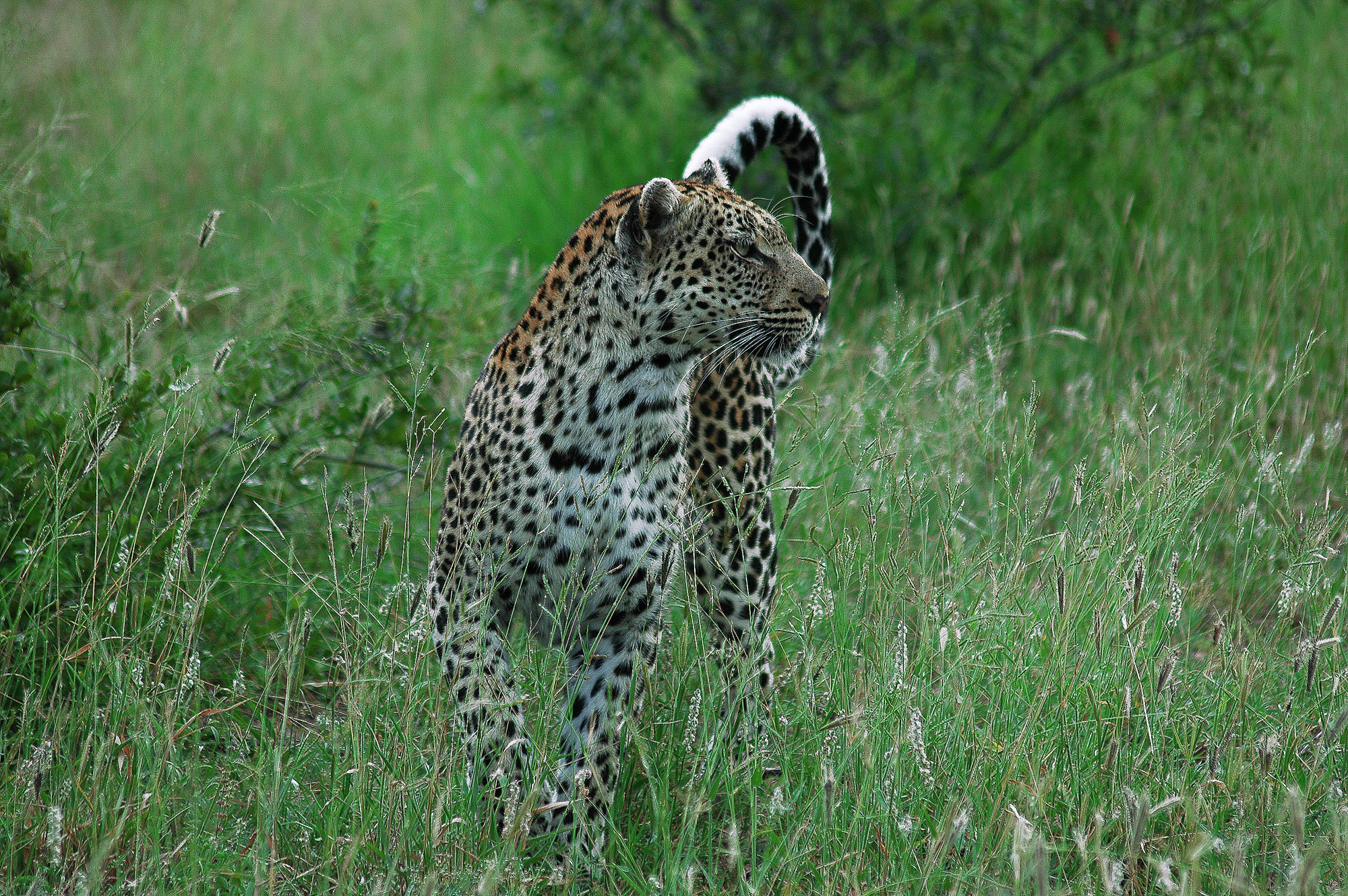 Leopard_Rob Baird
