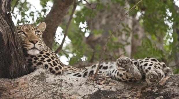Leopard Timbavati