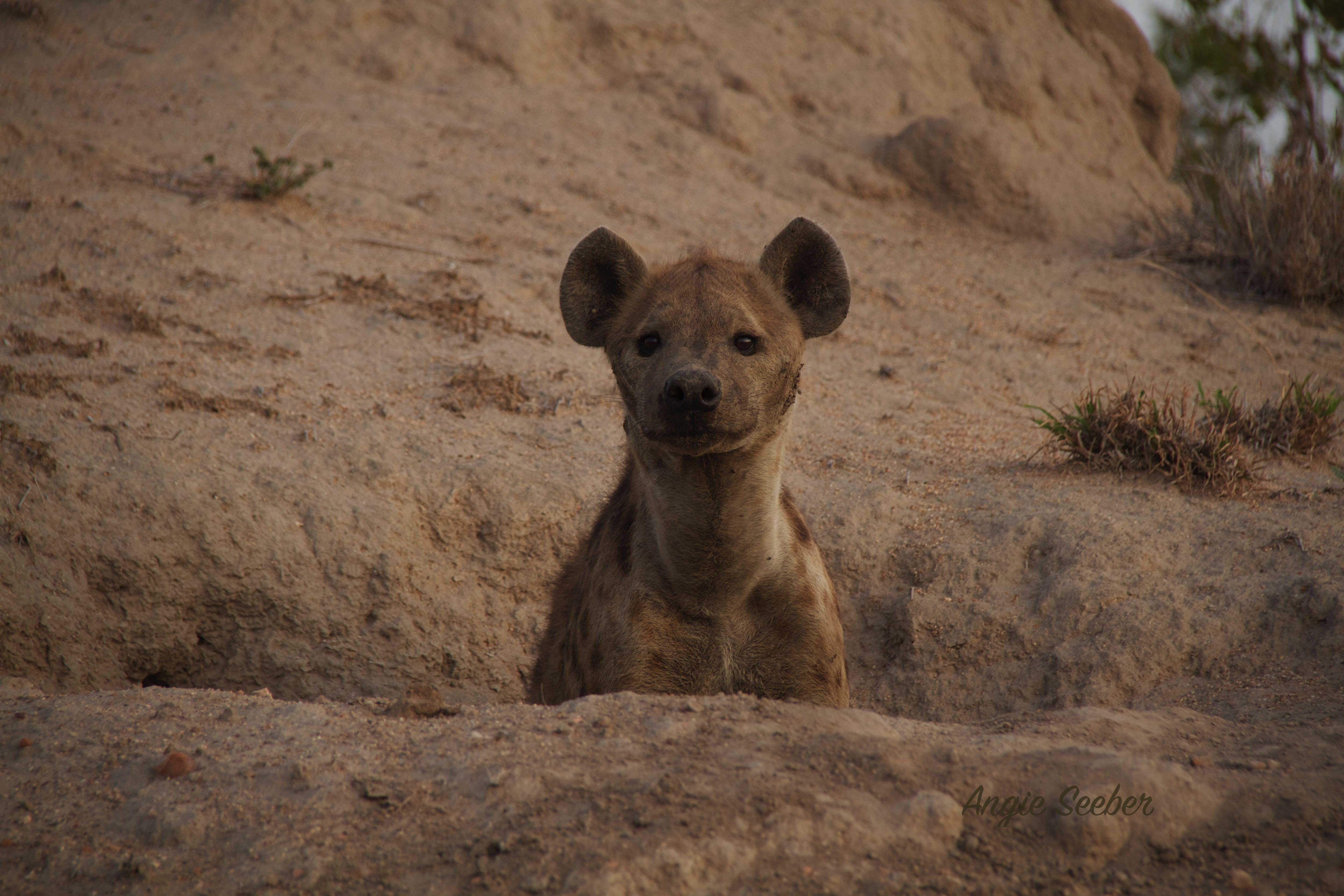 Mother Hyena