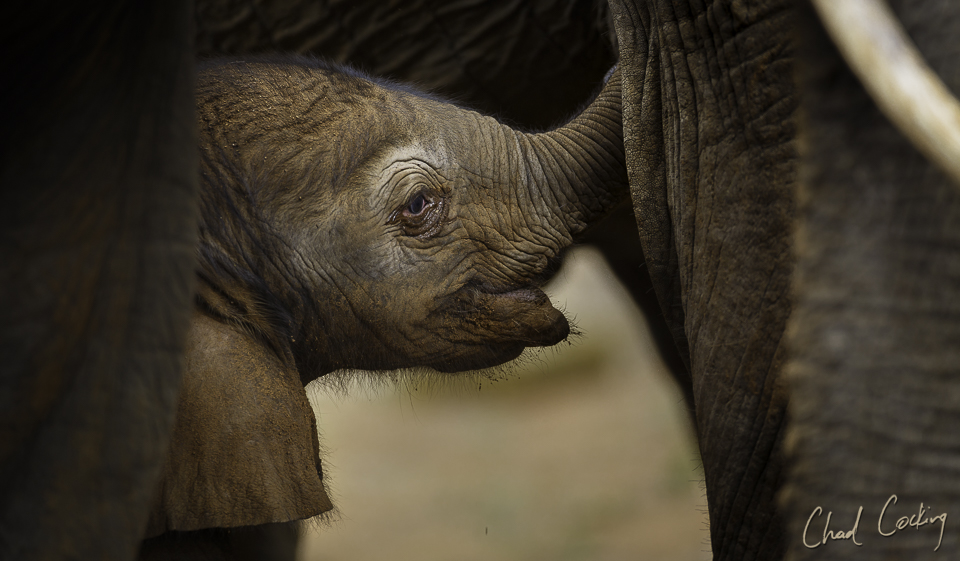 New born elephant calf