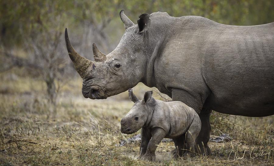 Rhino Motswari