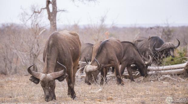 Buffalo At Umlani