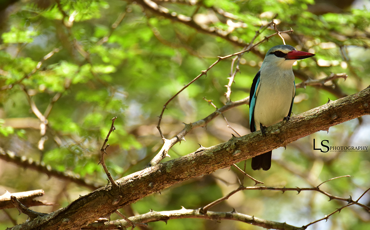 Woodland Kingfisher 1