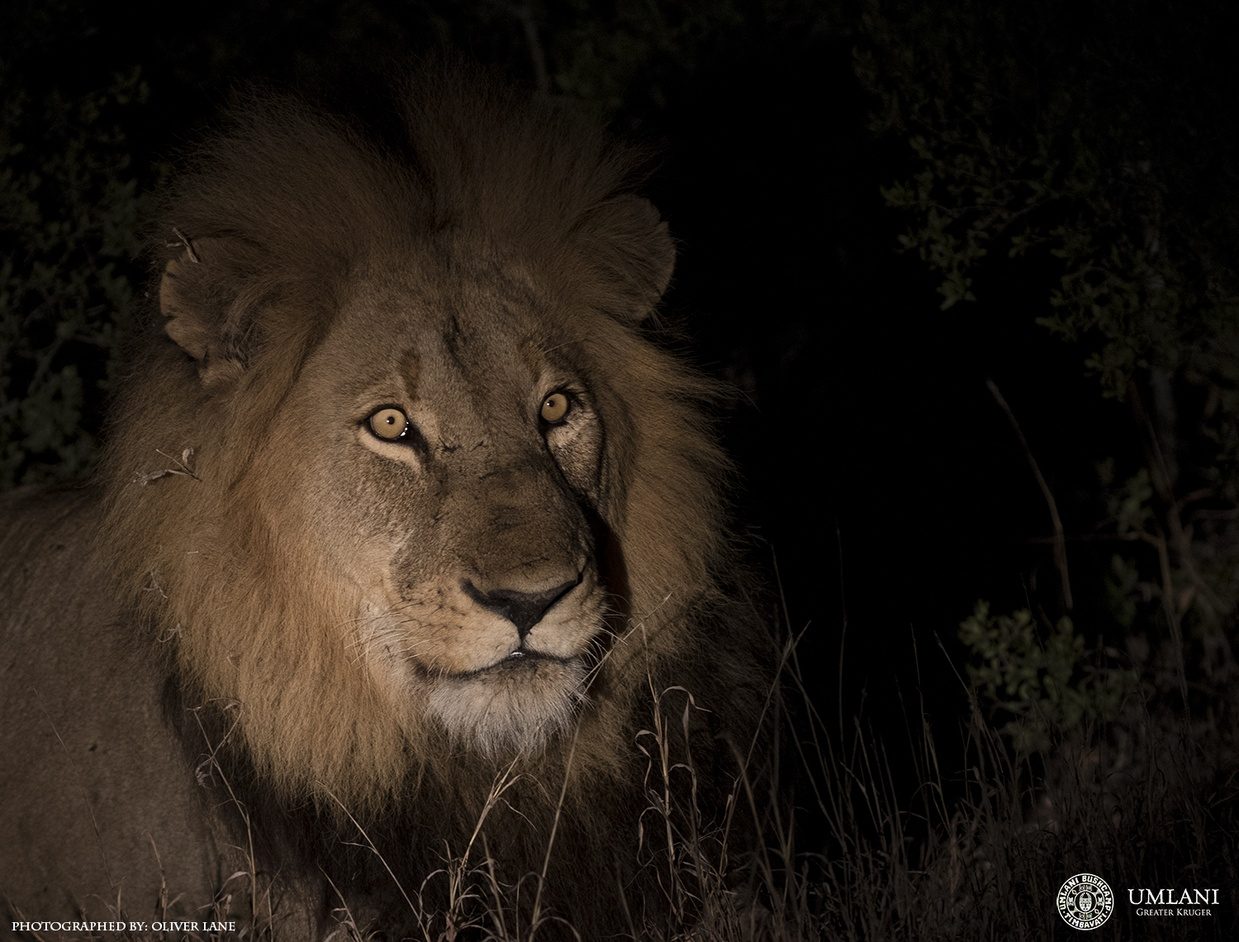 This Male Lion And His Younger Coalition Partner Are New Comers To The Area And We Are Not Sure Where From But Judging By The Size Of Him He Is A Force To Be Reckoned With And Since Their Arrival Even The Two Brazen Mbirri     Males Have Made Themselves Scarce.