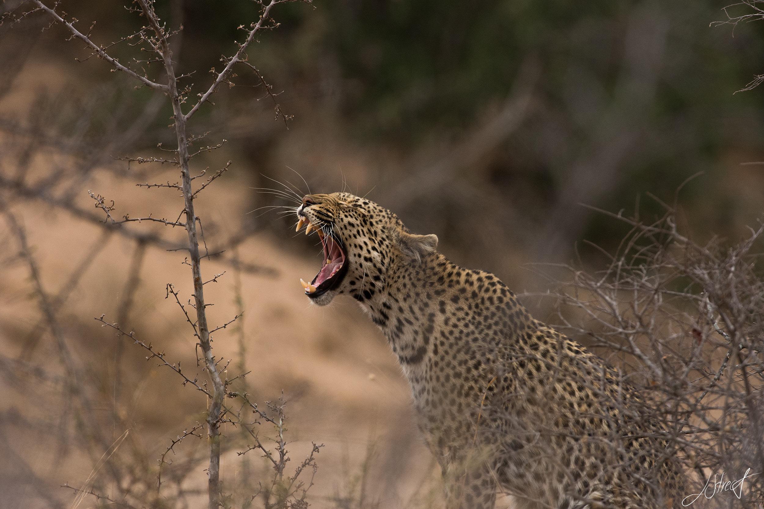 Marula Yawning