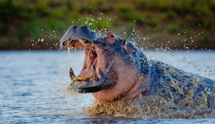 Interesting Hippo Facts