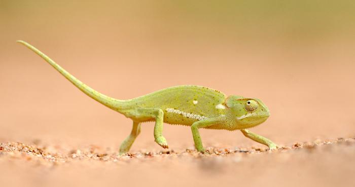 Motswari Chameleon 1