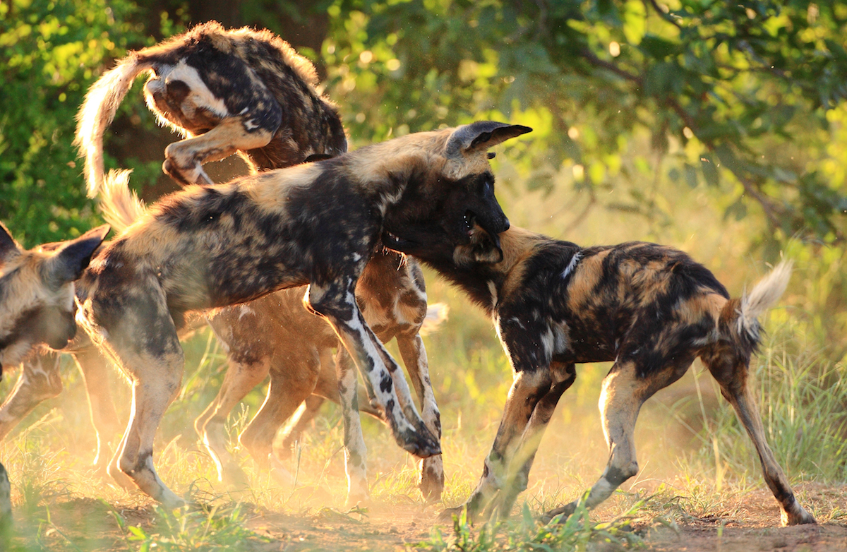 Interesting Observances Of The African Wild Dog's Social Behaviour