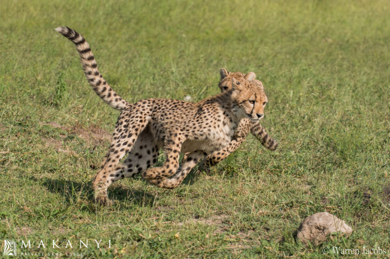 Makanyi Lodge Cheetah Sighting 4