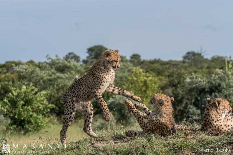 Makanyi Lodge Cheetah Sighting 8