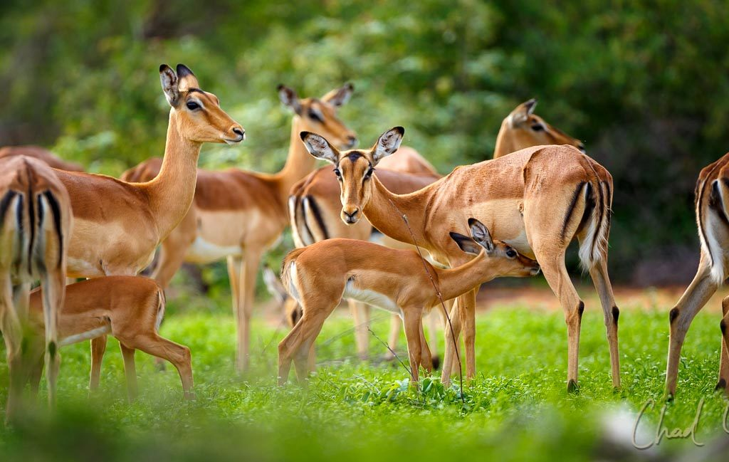 Tanda Tula Blog 2018 Impala Rutting 005