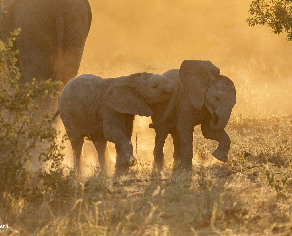 Two Calves Playing In The Beautiful, Golden Light