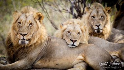 Jacaranda-Males