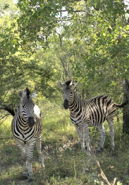 2015 03 20 Zebra