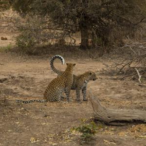 Leopard & Cub_Image By Rob Baird