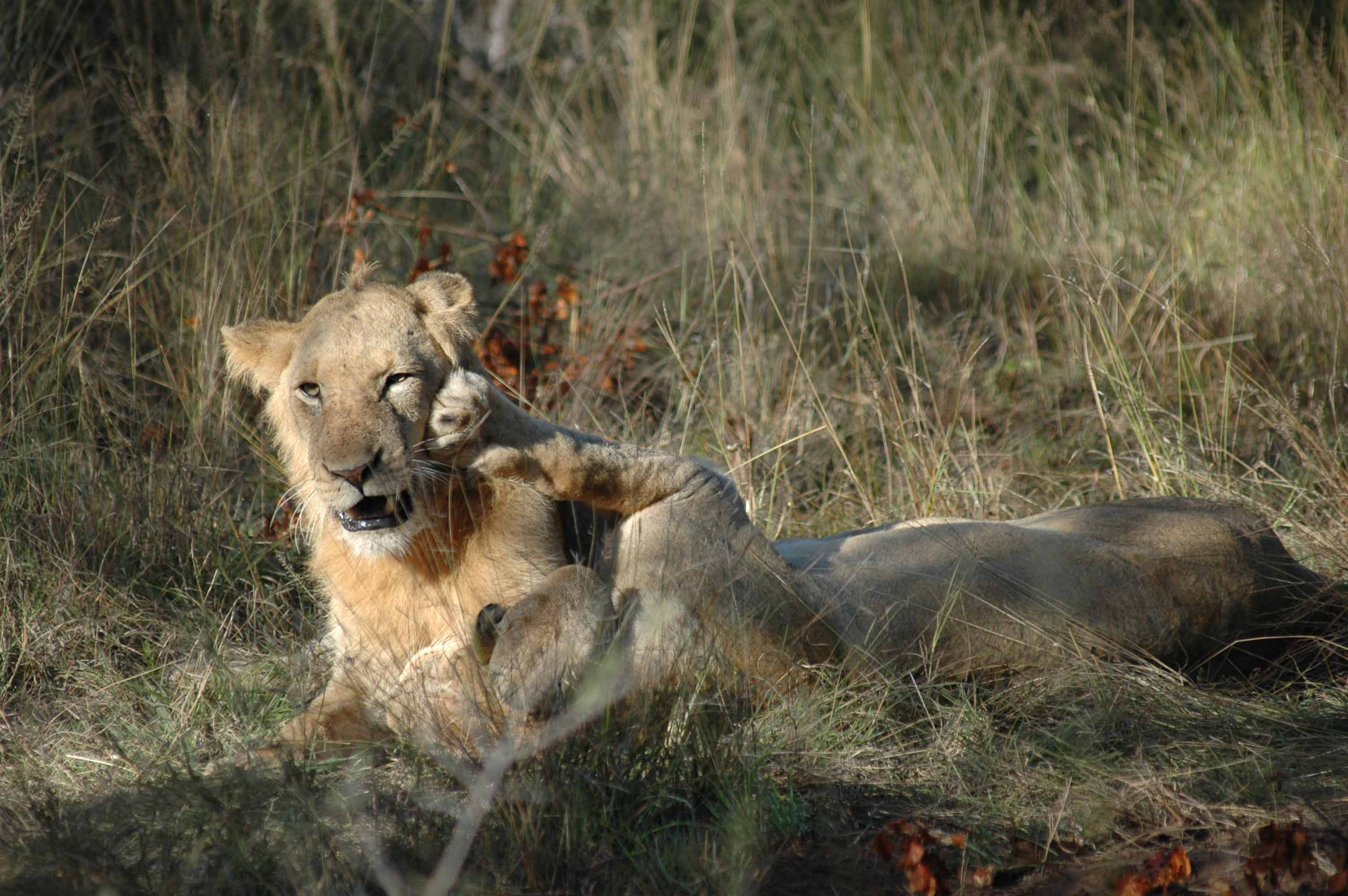 Playful-lions-in-the-morning_Rob-Baird