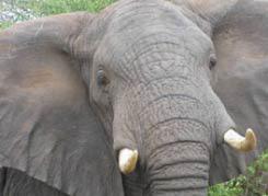 Elephants Lo