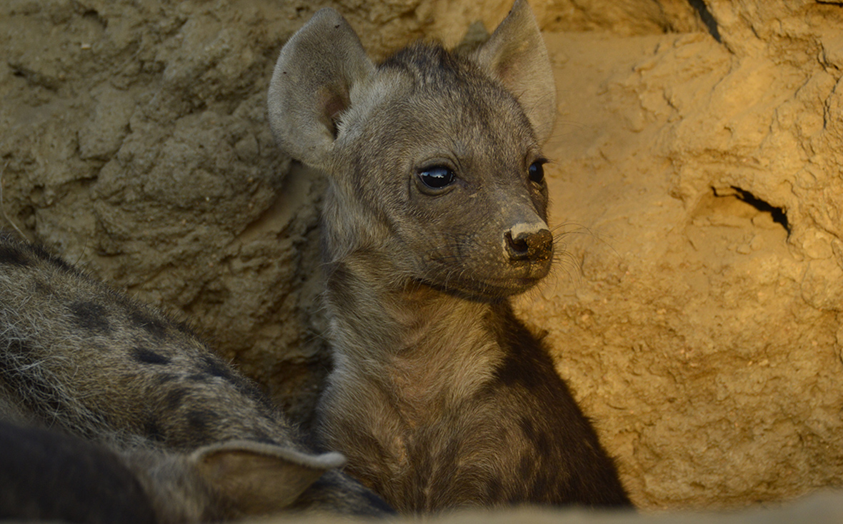 Tanda Tula Hyena Den