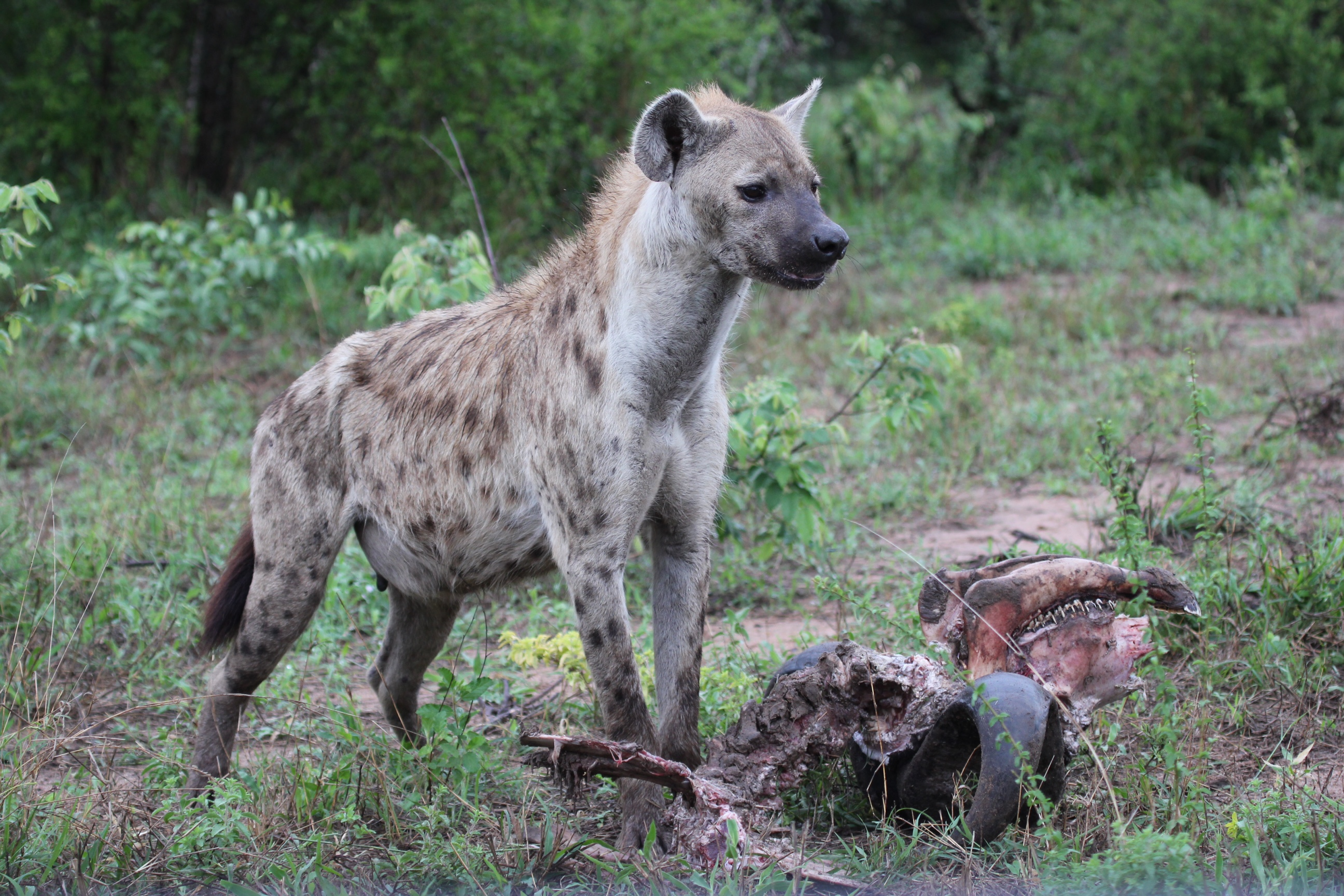 Hyenas eating buffalo