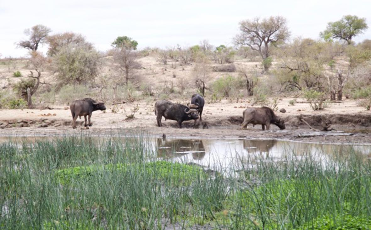 Buffalo Timbavati