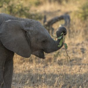 An Elephant Learning To Use His Trunk Waving A Branch Around Trying To Get It Into His Open Mouth Without Much Success Made For A Very Comical Moment.