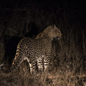 Nthombi Female Looks Like She Is Heavily Pregnant And We Eagerly Await The Arrival Of Her Cubs, She Is A Fantastic Mom So We Hoping For The Best That She Can Raise These Cubs To Adulthood And We Have Some Spectacular         Leopard Viewing On The Horizon.