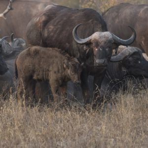 This Winter The Large Buffalo Herds Have Been Uncharacteristically Scarce, But When They Have Been Around They Are Inevitably Being Trailed By Lions Which Could Be The Main Reason Why We Are Not Seeing The Herds As They Keep Moving Trying Not To Give The Lions Any Chances.