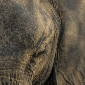 When It Comes To Photographing Textures No Subject Is Better Than The Elephant, Especially When There Is Golden Winter Sunlight.
