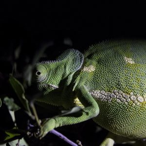 One Of The Great Mysteries Of The Bush, How Do Our Trackers Spot These Flap-necked Chameleons At Night?