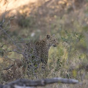 We Have Been Seeing Marula Female A Lot The Last Few Weeks, And On Some Occasions She Has Been Found Far East Of Her Usual Territory, Scent Marking And Seemingly Claiming It As Her Own In The Absence Of Nyeleti, Time Will Tell As To What Happens As Nyeleti Has Recently Been Seen Again After Months Of Not Being Around.