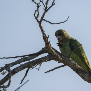 A Brown Headed Parrot More Often Heard Than Seen, Adding Some Color To The Drab Winter Bush.