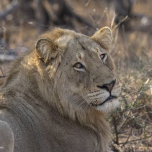 We Had A New Pride Of Lions Move Through Our Traversing Area, They Are Known As The Myambula Pride From The Southern Sections Of The Timbavati, It Seems The Void Left By The Machaton Pride Is Being Picked Up On And         Drawing In Lions From All Over Investigating The Potential Of The Area.