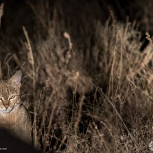 One Of Our Nocturnal Inhabitants The African Wildcat, Rarely Seen And Even More Rare To Photograph Due To Their Elusive Nature.