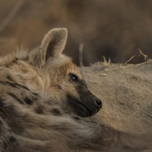 A Young Hyena Takes Time Out To Catch A Snooze After A Wrestling Match With Its Siblings.