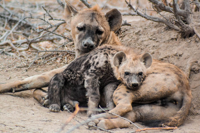 Hyenas On Safari