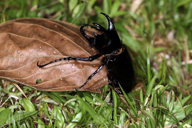Three Horned Rhinoceros Beetle Chalcosoma Moellenkampi Male