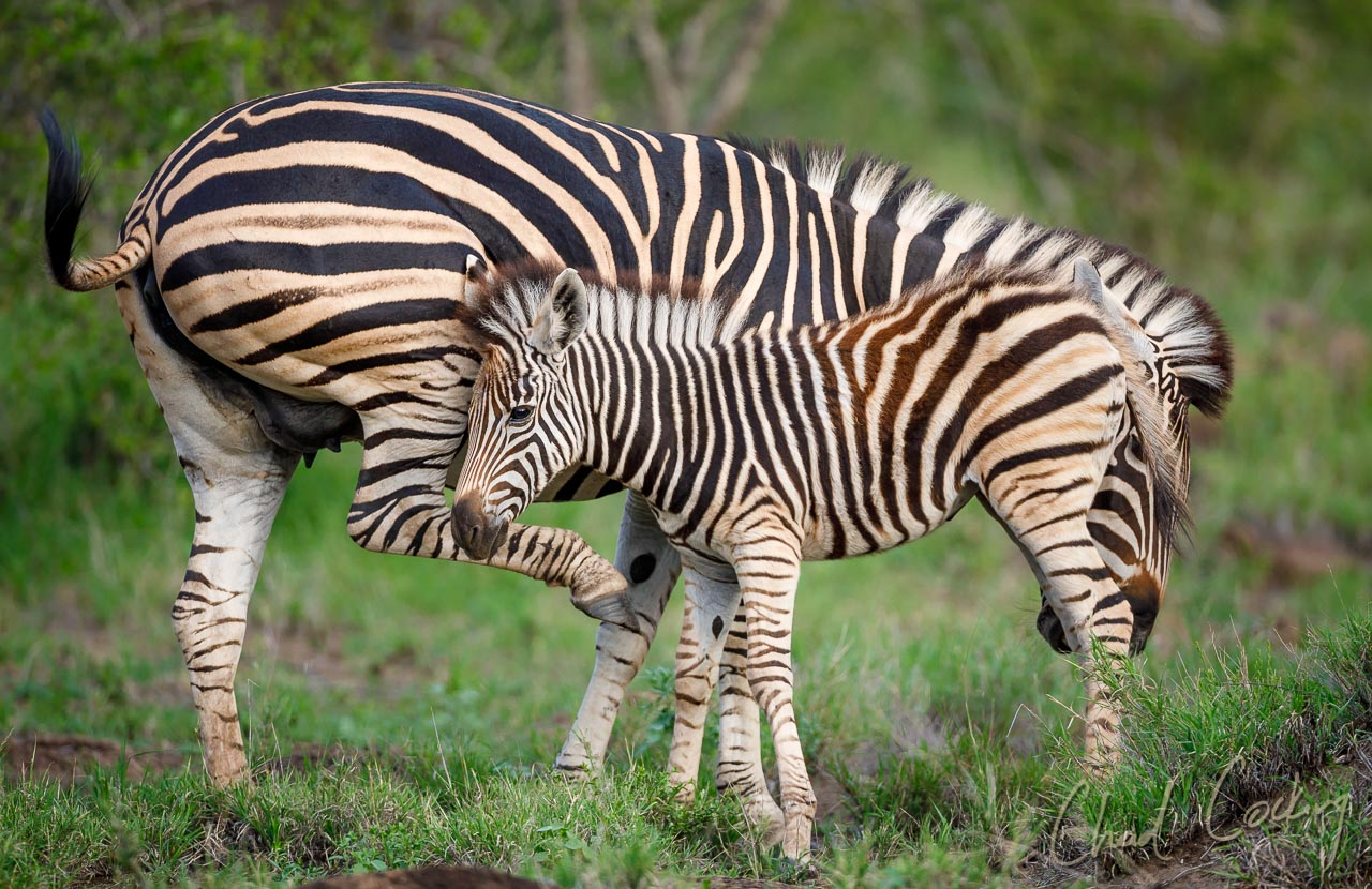 Zebra Stripes – Why Do They Exist?