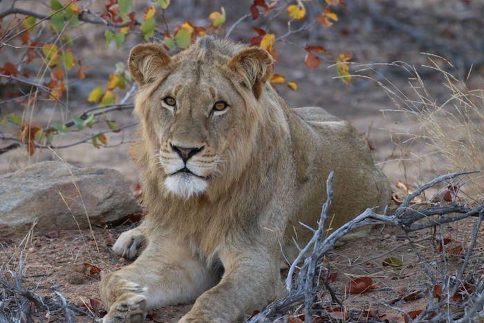 Motswari Lion