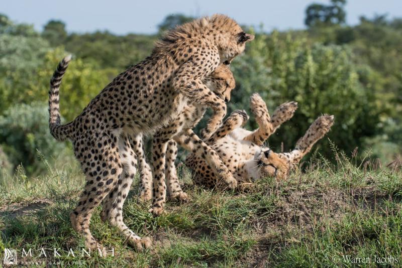 Makanyi Lodge Cheetah Sighting 1