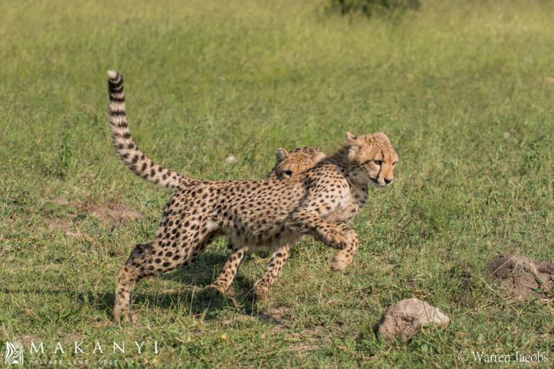 Makanyi Lodge Cheetah Sighting 2