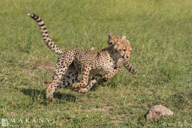 Makanyi Lodge Cheetah Sighting 4
