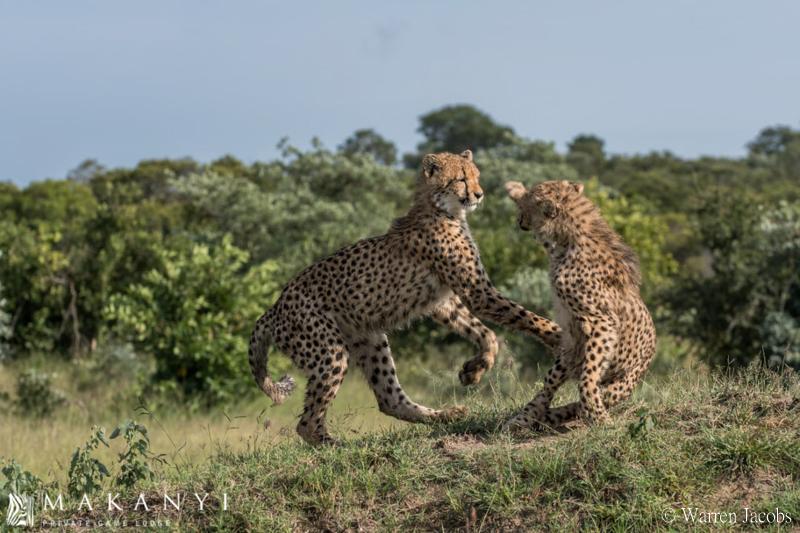 Makanyi Lodge Cheetah Sighting 5
