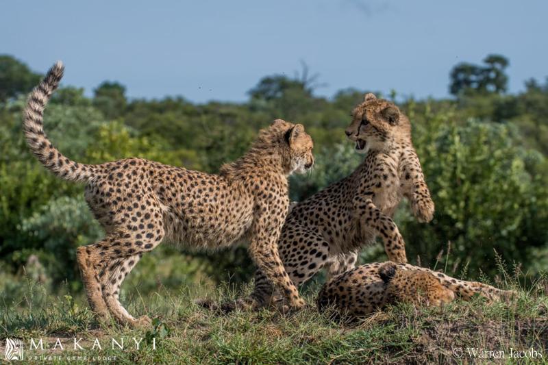 Makanyi Lodge Cheetah Sighting 6