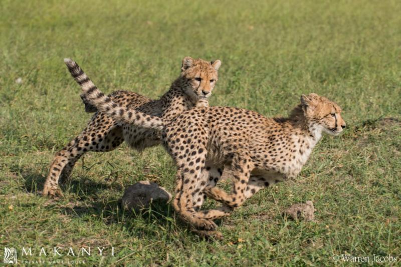 Makanyi Lodge Cheetah Sighting 7