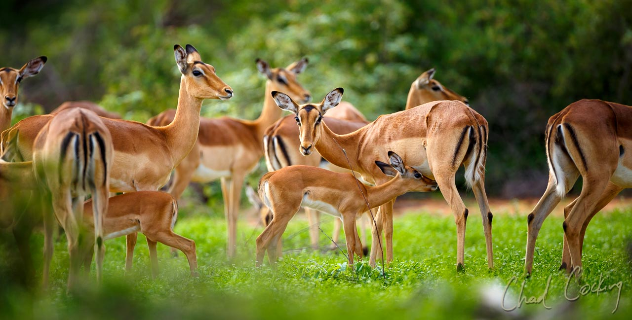 Impala 'rutting Season' At Tanda Tula Safari Camp