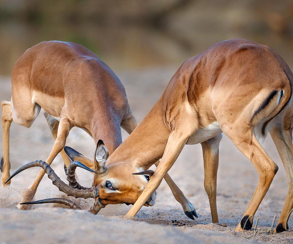 Tanda Tula Blog 2018 Impala Rutting 009