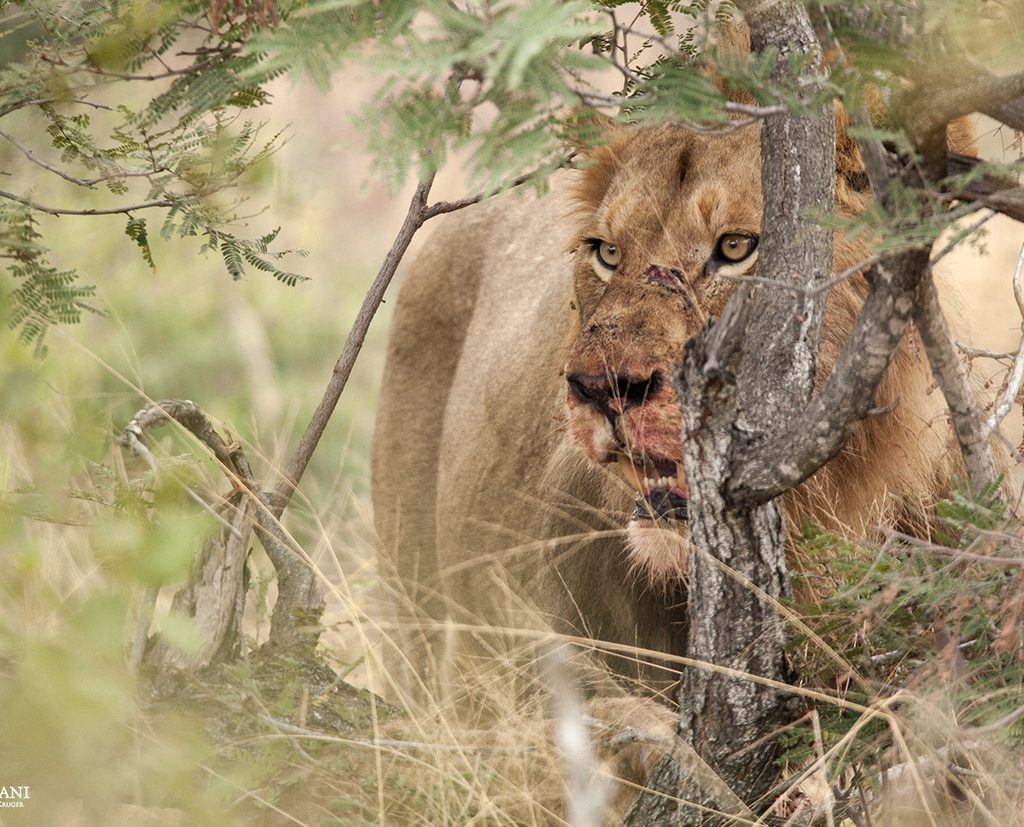 One Of The Mbiri Males Staking His Claim Over The Young Giraffe Kill That The Zebinine Pride Lionesses Had