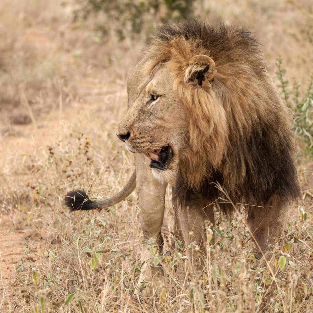 Larger Mbiri Male Watches His Partner Drag The Giraffe Carcass To Cover