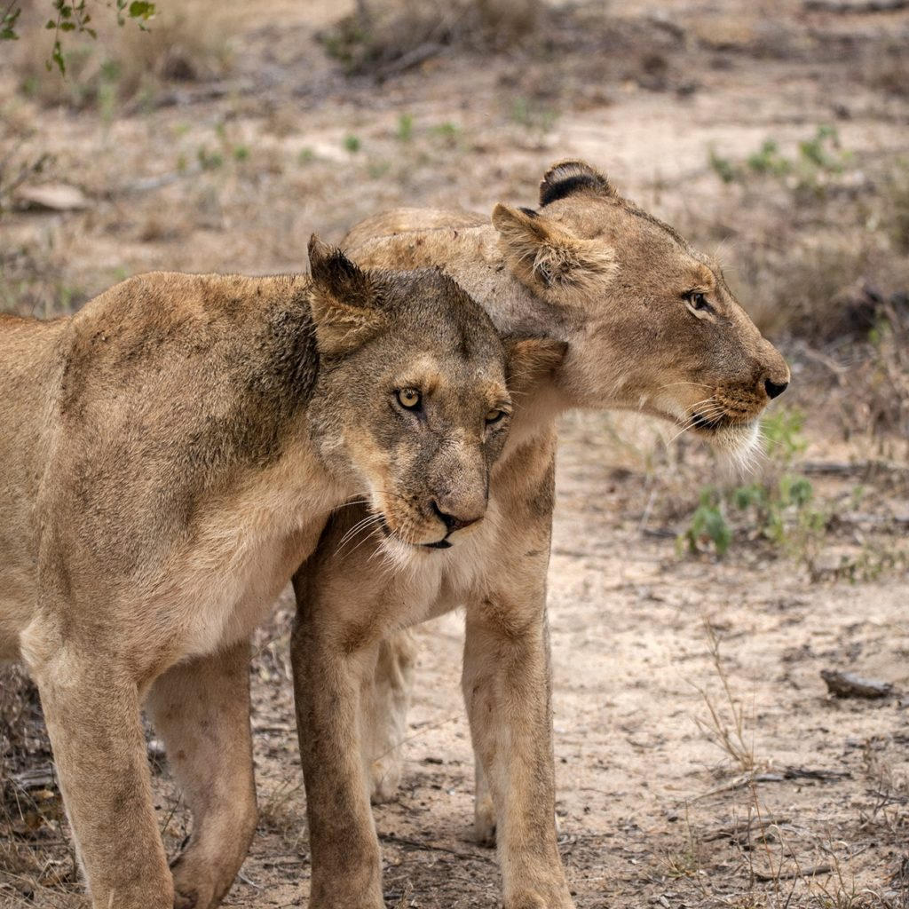 Two Zebinine Pride Females Who Are Hiding Small Cubs At The Moment