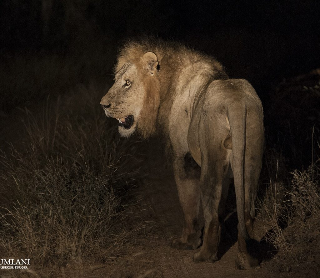 A Male Pauses At The Sound Of Hyenas